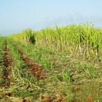 Sugar cane field, René Fraga, Cuba — Stock Photo