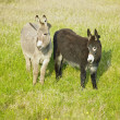 Stock Photo: Donkeys, County Donegal, Ireland
