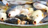 Pêcher en cuve pendant la récolte des étangs — Photo