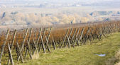 Vineyard, Alsace, France — Stockfoto