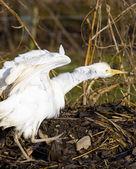 Storks breeding (Centre de Réintroduction des Cigognes), Hunawih — Stock Photo