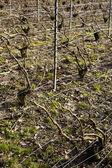 Viñedos de la región de champagne, borgoña, francia — Foto de Stock