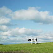 Cow, County Kilkenny, Ireland — Stock Photo