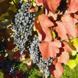 Grapevines in vineyard, Czech Republic — Stock Photo #10990168