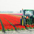 Tractor on the tulip field, Netherlands - Stock Photo