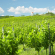 Vineyard near Hnanice, Znojmo Region, Czech Republic - Stock Photo