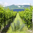 Vineyards, Palava, Czech Republic — Stock Photo