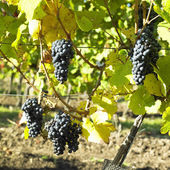 Grapevines in vineyard (frankovka), Czech Republic — Stock Photo