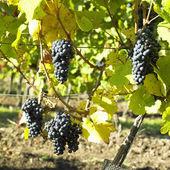 Grapevines in vineyard (frankovka), Czech Republic — Stock Photo