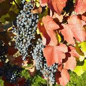 Grapevines in vineyard, Czech Republic — Stock Photo