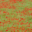 Meadow of red poppies, Rhone-Alpes, France — Stock Photo #11282939