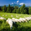 Sheep herd, Mala Fatra, Slovakia — Stock Photo #11283210