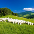 Sheep herd, Mala Fatra, Slovakia — Stock Photo #11283212