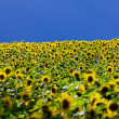 Sunflower field — Stock Photo #11284413