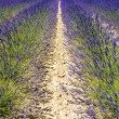 Lavender field, Plateau de Valensole, Provence, France - Foto Stock