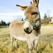 Stock Photo: Donkey, Vermont, USA
