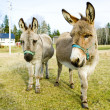 Stock Photo: Donkeys, Vermont, USA