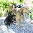 Stock Photo: Female dog with puppies, Tobago