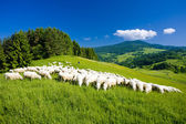 Sheep herd, Mala Fatra, Slovakia — Stock Photo