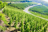 Grand cru vineyard, Cote Rotie, Rhone-Alpes, France — Stock Photo