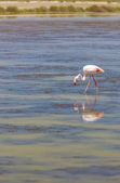 Flamingo, Parc Regional de Camargue, Provence, France — Stock Photo