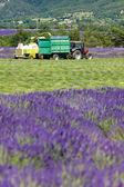 Lavender harvest, Alpes-de-Haute-Provence Departement, France — Stock Photo