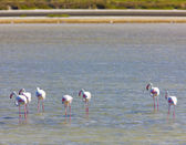 Flamingos, Parc Regional de Camargue, Provence, France — Stock Photo