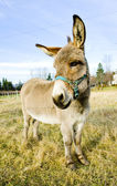 Donkey, Vermont, USA — Stock Photo