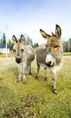 Donkeys, Vermont, USA — Stock Photo