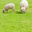 Stock Photo: Sheep with lamb on meadow, Bosniand Hercegovina
