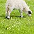 Stock Photo: Lamb on meadow, Bosniand Hercegovina