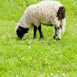 Lamb on meadow, Bosnia and Hercegovina — Stock Photo #11290515