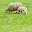 Stock Photo: Sheep with lamb, Bosniand Hercegovina