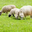 Stock Photo: Sheep on meadow, Bosniand Hercegovina