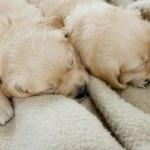 Sleeping puppies of golden retriever — Stock Photo