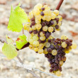 White grape in Sauternes Region, Aquitaine, France - Stock Photo