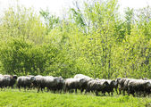 Sheep herd, Serbia — Stock Photo