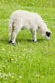 Lamb on meadow, Bosnia and Hercegovina — Stock Photo