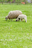 Sheep with a lamb, Bosnia and Hercegovina — Stock Photo
