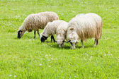 Sheep on meadow, Bosnia and Hercegovina — Stock Photo