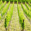 Vineyard, Alsace, France — Stock Photo #11423646