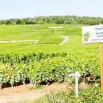 Grand cru vineyards of Richebourg, Burgundy, France — Stock Photo #11423785