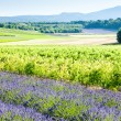 Lavender field with vineyards, Drome Department, Rhone-Alpes, Fr — Stock Photo