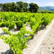 Vineyard near Bandol, Provence, France — Stock Photo #11424124