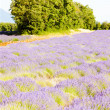 Lavender field with trees, Provence, France — Stock Photo