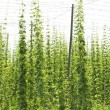 Hops garden, Czech Republci — Stock Photo #11424479