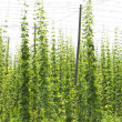 Hops garden, Czech Republci — Stock Photo