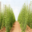 Hops garden, Czech Republci — Stock Photo #11424482