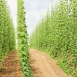 Hops garden, Czech Republci — Stock Photo #11424484