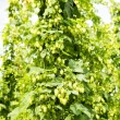 Hops garden, Czech Republci — Stock Photo #11424901